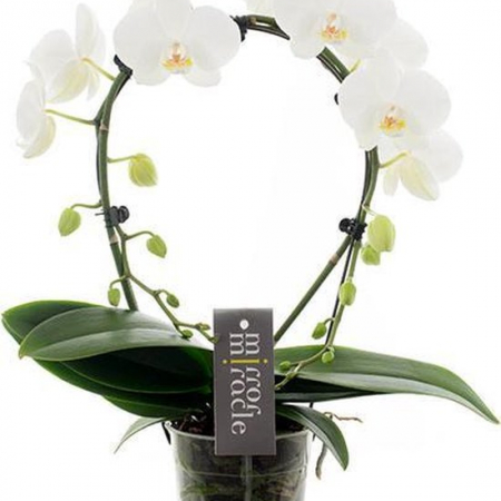 phalaenopsis uccle blanche ronde
