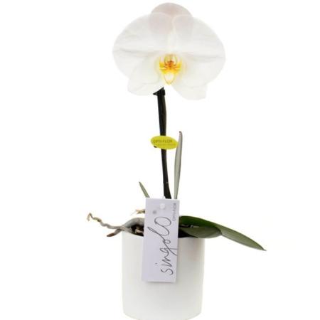 orchidée livraison bruxelles uccle