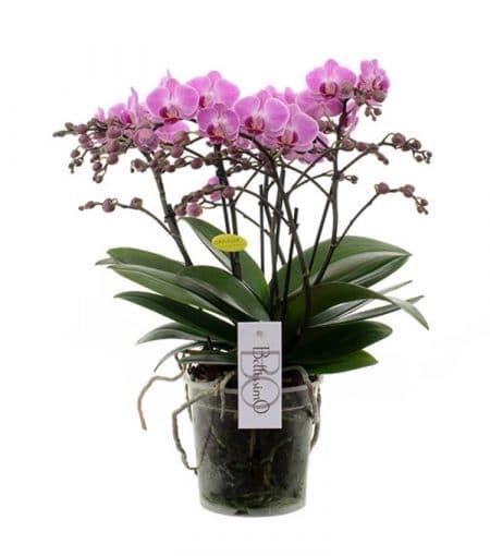 phalaenopsis pink brussels