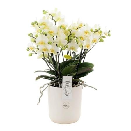 orchidée 100 fleurs blanches