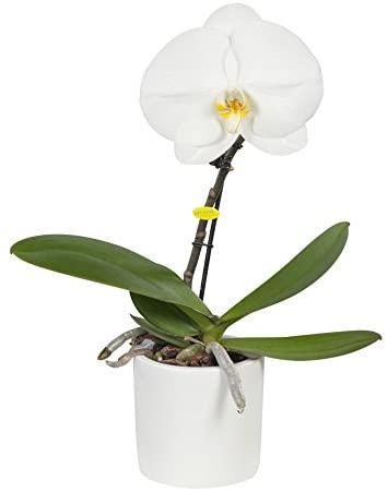orchidée à une fleur blanche