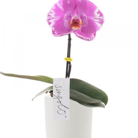 orchidée mauve à livrer à bruxelles