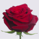 rose rouge uccle