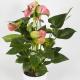 anthurium rose uccle