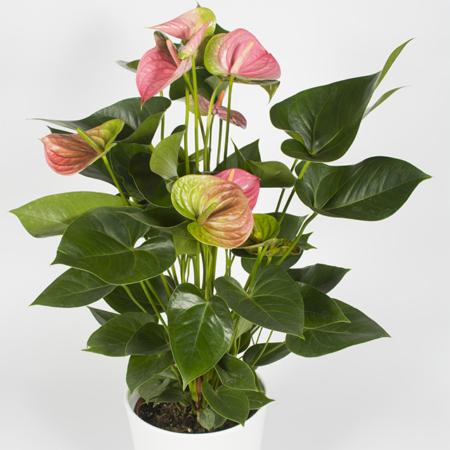 livraison fleurs plantes uccle bruxelles saint-gilles ixelles etterbeek
