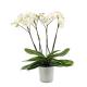 orchidée 4 branches fleuries de prestige à Bruxelles