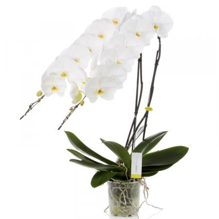 orchidée prestigieuse à bruxelles