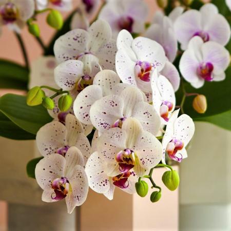 orchidée livraison uccle
