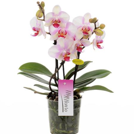 orchidée rose livraison uccle bruxelles saint-gilles ixelles