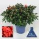 azalée couleur brique livraison uccle, rhode-saint-genèse, linkebeek, drogenbos